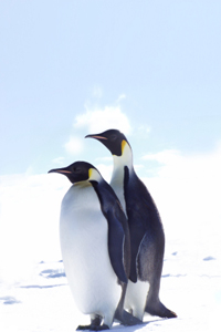 MYL Penguins