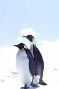 MYL Penguins